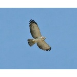 Short-tailed Hawk. Photo by Schwartz courtesy of Paul Bithorn. All rights reserved.