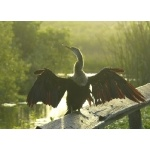 Anhinga on the Anhinga Trail, Everglades National Park. Photo by Rick Taylor. Copyright Borderland Tours. All rights reserved.