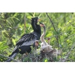 Anhinga family. Photo by Jean Halford. All rights reserved.
