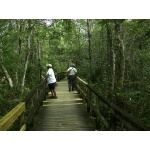 Big Cypress Boardwalk, Fakahatchee Strand. Photo by Rick Taylor. Copyright Borderland Tours. All rights reserved.