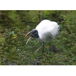 Wood Stork. Photo by Jean Halford. All rights reserved.