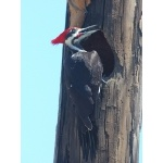 Pileated Woodpecker. Photo by Jean Halford. All rights reserved.