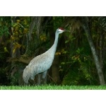 Sandhill Crane. Photo by Rick Taylor. Copyright Borderland Tours. All rights reserved.