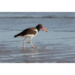 American Oystercatcher. Photo by Jean Halford. All rights reserved.