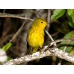 Yellow Warbler, Golden race. Photo by Edwards courtesy of Paul Bithorn. All rights reserved.