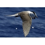 Bridled Tern. Photo by Boyd courtesy of Paul Bithorn. All rights reserved.