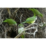Monk Parakeets. Photo by Neuhring courtesy of Paul Bithorn. All rights reserved.