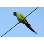 Nanday Parakeet. Photo by Rick Taylor. Copyright Borderland Tours. All rights reserved.