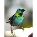 Green-headed Tanager. Photo by Rick Taylor. Copyright Borderland Tours. All rights reserved.