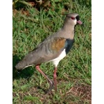 Southern Lapwing. Photo by Rick Taylor. Copyright Borderland Tours. All rights reserved.