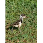 Baby Southern Lapwing. Photo by Rick Taylor. Copyright Borderland Tours. All rights reserved.