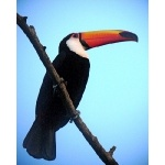 Toco Toucan. Photo by Rick Taylor. Copyright Borderland Tours. All rights reserved.