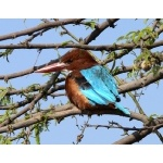 White-throated Kingfisher. Photo by Rick Taylor. Copyright Borderland Tours. All rights reserved.
