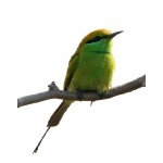 Green Bee-eater. Photo by Rick Taylor. Copyright Borderland Tours. All rights reserved.
