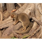 Small Indian Mongoose, Taj Majal. Photo by Rick Taylor. Copyright Borderland Tours. All rights reserved.