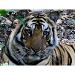 Tiger Notices Us...Photo by Rick Taylor. Copyright Borderland Tours. All rights reserved.