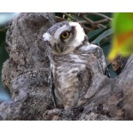 Young Spotted Owl. Photo by Rick Taylor. Copyright Borderland Tours. All rights reserved.