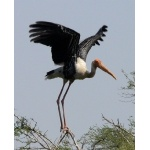 Painted Stork. Photo by Rick Taylor. Copyright Borderland Tours. All rights reserved.