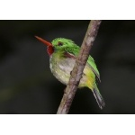 Jamaican Tody. Photo by Rick Taylor. Copyright Borderland Tours. All rights reserved.