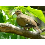 Zenaida Dove. Photo by Rick Taylor. Copyright Borderland Tours. All rights reserved.