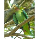 Yellow-billed Parrot. Photo by Rick Taylor. Copyright Borderland Tours. All rights reserved.