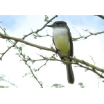 Stolid Flycatcher. Photo by Rick Taylor. Copyright Borderland Tours. All rights reserved.