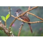 Rufous Flycatcher. Photo by Rick Taylor. Copyright Borderland Tours. All rights reserved.