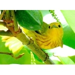 -Golden- Yellow Warbler. Photo by Rick Taylor. Copyright Borderland Tours. All rights reserved.