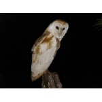 -Jamaican- Barn Owl. Photo by Rick Taylor. Copyright Borderland Tours. All rights reserve