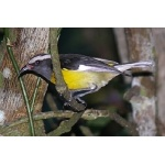 Bananaquit. Photo by Rick Taylor. Copyright Borderland Tours. All rights reserved.