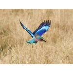 Lilac-breasted Roller in flight. Photo by Dave Semler. All rights reserved.