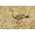 Black-bellied Bustard, female. Photo by Dave Semler. All rights reserved.