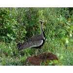 Black-bellied Bustard. Photo by Rick Taylor. Copyright Borderland Tours. All rights reserved.