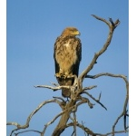 Tawny Eagle. Photo by Dave Semler. All rights reserved.