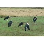 Marabou Storks. Photo by Rick Taylor. Copyright Borderland Tours. All rights reserved.