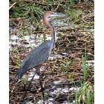 Goliath Heron, the world's largest heron species. Photo by Rick Taylor. Copyright Borderland Tours. All rights reserved.