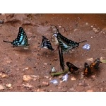 Butterfly Puddle Party. Photo by Rick Taylor. Copyright Borderland Tours. All rights reserved.