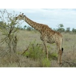 Giraffe. Photo by Rick Taylor. Copyright Borderland Tours. All rights reserved.