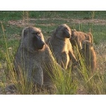 Olive Baboons. Photo by Rick Taylor. Copyright Borderland Tours. All rights reserved.