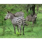 Zebras. Photo by Rick Taylor. Copyright Borderland Tours. All rights reserved.