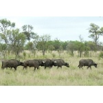 African or Cape Buffalos. Photo by Rick Taylor. Copyright Borderland Tours. All rights reserved.