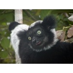 Indri. Photo by Marsha Steffen and Dave Semler. All rights reserved.