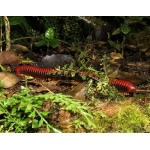 Rain Forest Millipede. Photo by Rick Taylor. Copyright Borderland Tours. All rights reserved. Rain Forest Millipede. Copyright Borderland Tours. All rights reserved.