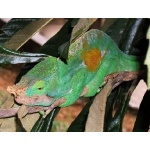 Parson's Chameleon. Photo by Rick Taylor. Copyright Borderland Tours. All rights reserved.