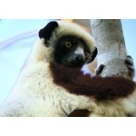 Coquerel's Sifaka. Photo by Rick Taylor. Copyright Borderland Tours. All rights reserved.