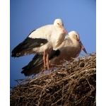 White Storks nesting at Boumalne. Photo by Rick Taylor. Copyright Borderland Tours. All rights reserved.
