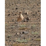 Cream-colored Courser. Photo by Rick Taylor. Copyright Borderland Tours. All rights reserved.