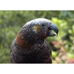 Kaka Close-up. Photo by David Semler & Marsha Steffen. All rights reserved.