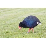 Takahe. Photo by David Semler & Marsha Steffen. All rights reserved.