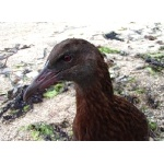 Weka. Photo by David Semler & Marsha Steffen. All rights reserved.